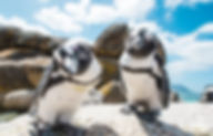 Two_penguins_looking_into_camera_boulder