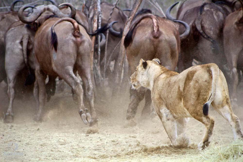 Lion hunting Buffalo, Kapama