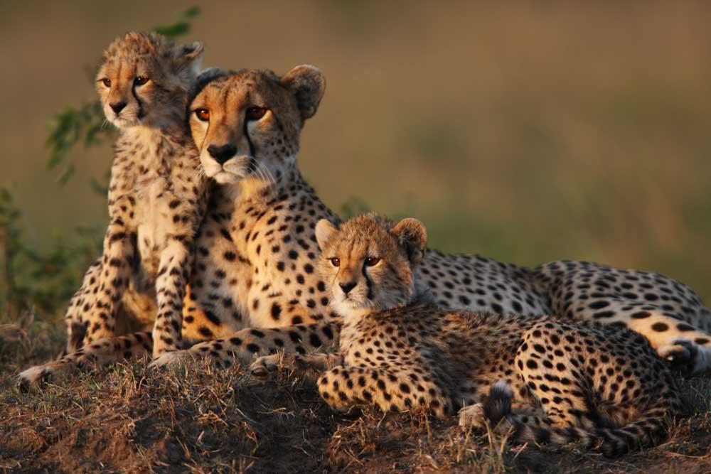 Cheetah, Kapama Private Game Reserve