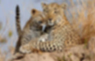 Leopard and Cub Portrait sharp.jpg