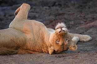 Lion_on_Back_Londolozi_Varty_Camp.jpg