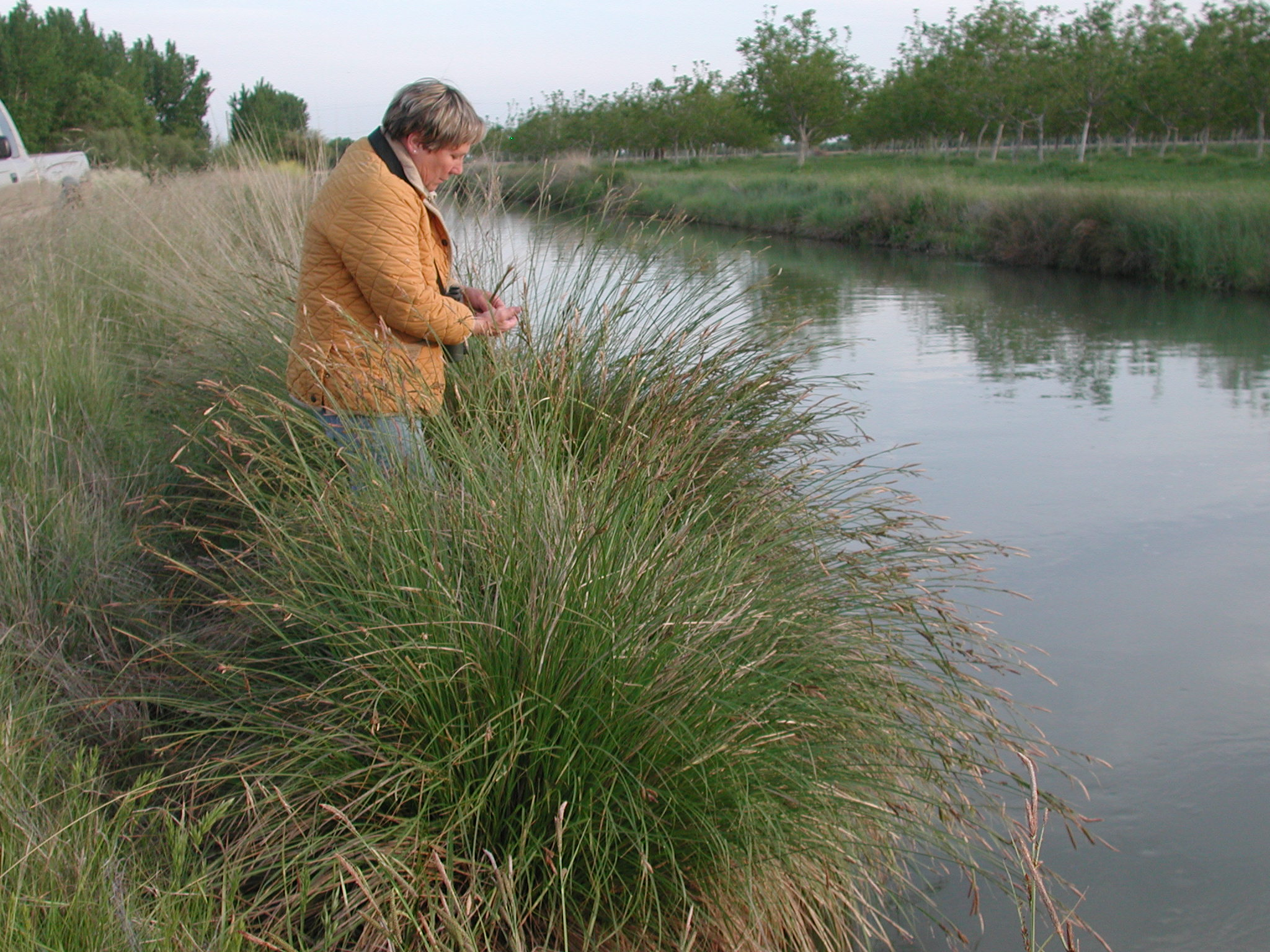 Marsha Anderson with Carex nudata