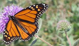 Monarch Kits