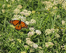 Monarch on Asclepias fascicularis