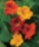 National Flower of Boshka