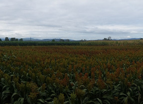 Yield potential and stability of Australian sorghum hybrids