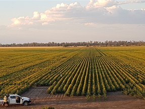 Winter sown sorghum is the new cool