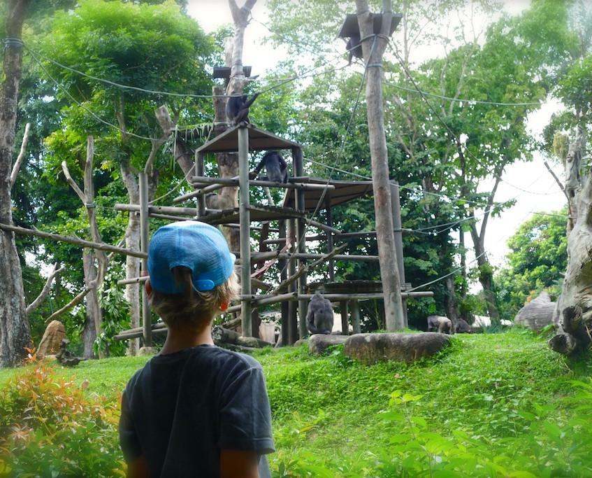 Les Chimpanzés du Zoo de Singapour