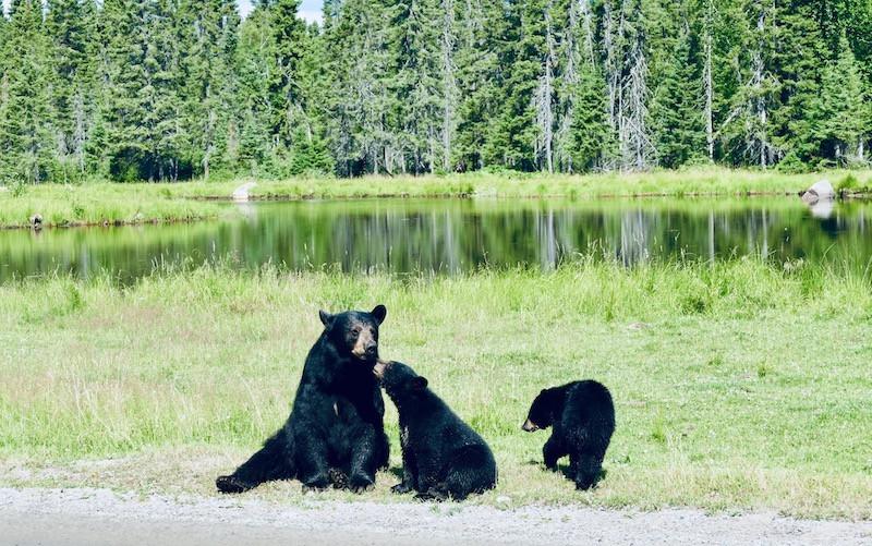 Des ours bruns au Zoo Saint-Félicien