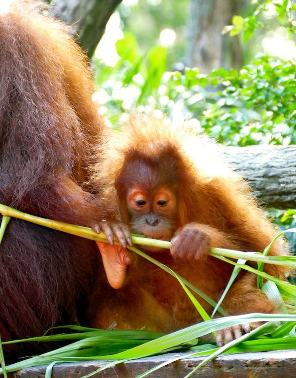Orang-Outan du Zoo de Singapour