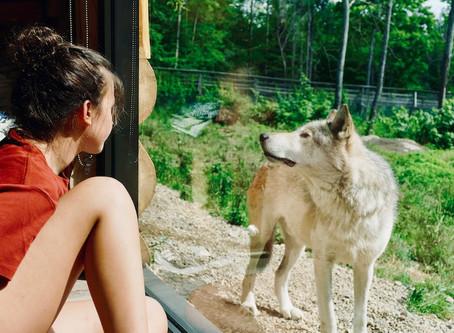 Dormir avec les loups au Parc Omega