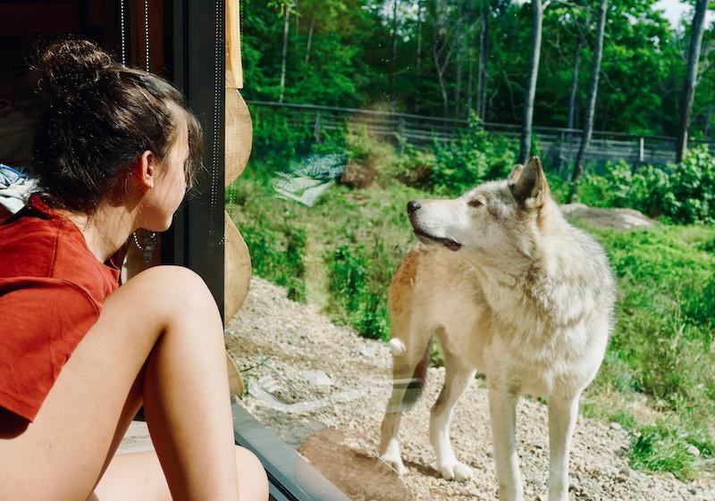 Rencontre les loups au Parc Omega