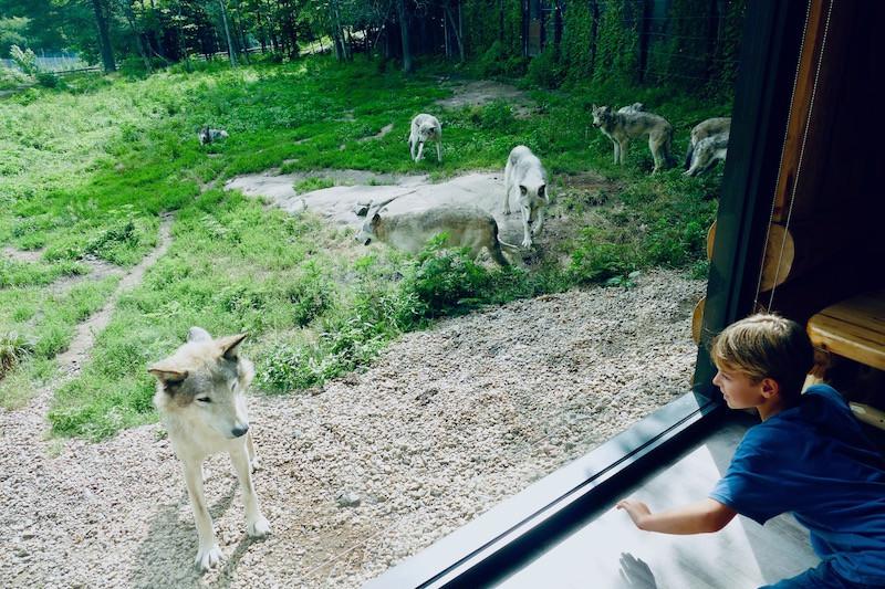 la rencontre avec les loups au Parc Omega