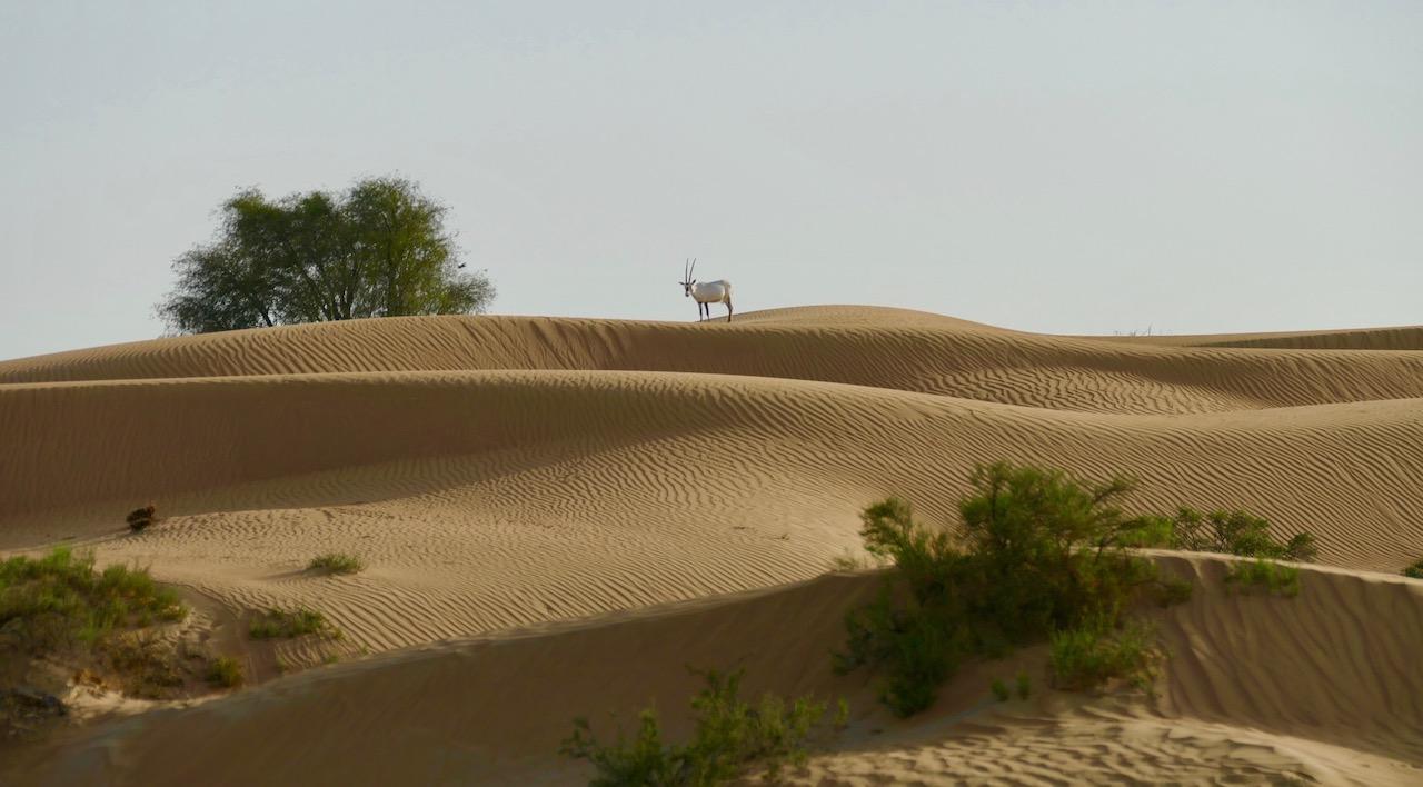 Oryx dans le désert de Dubaï8