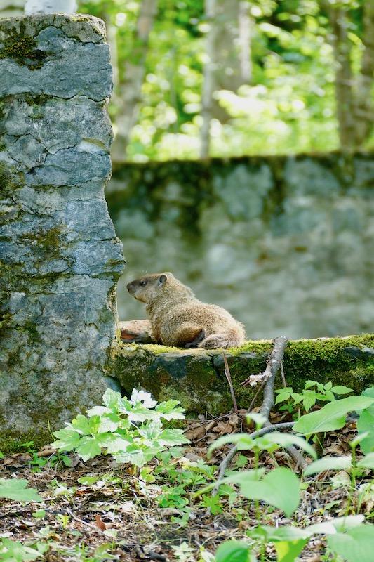 Marmotte de Val-Jalbert