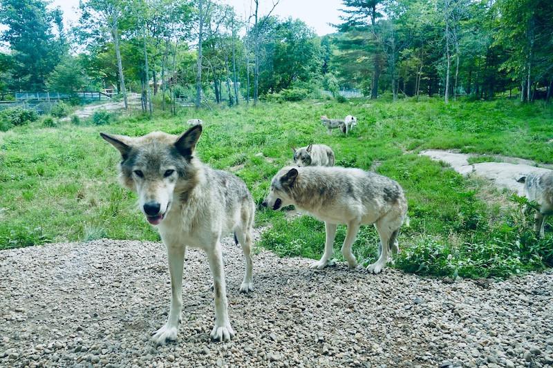 Les loups du Parc Omega