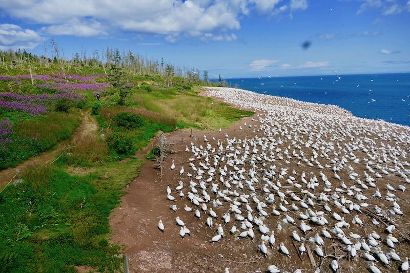 La colonie des fous de bassans