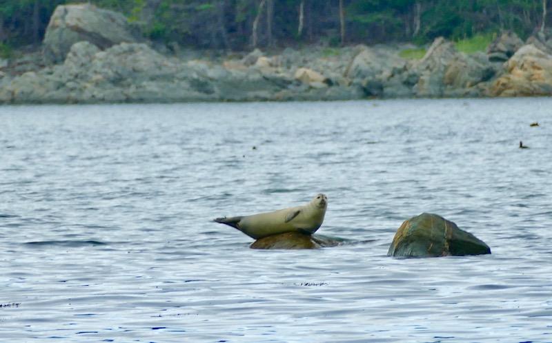 Observation des phoques au Canada