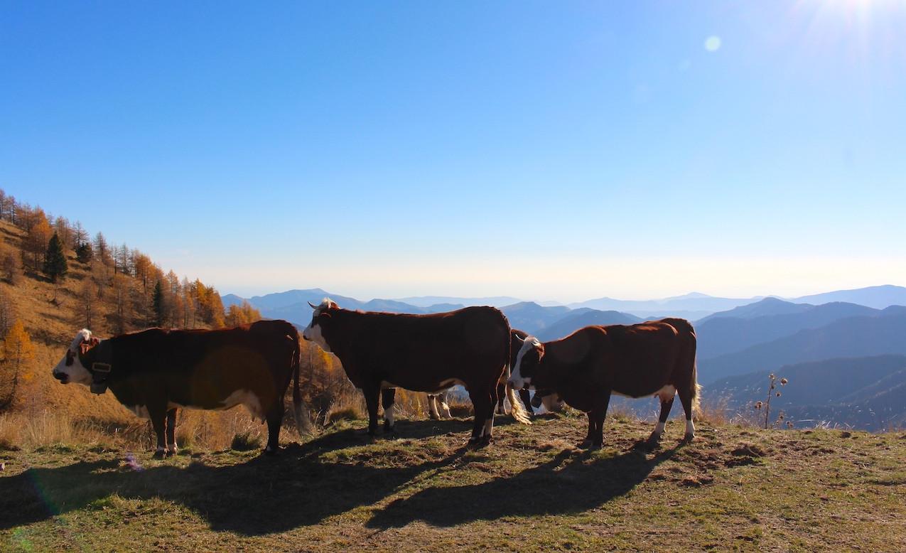 Les vaches du circuit de l'Authion