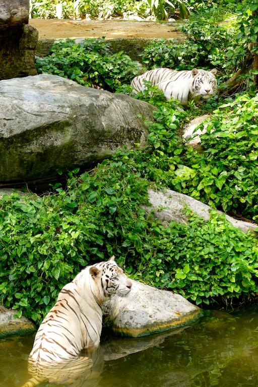 Les tigres blanc du Zoo de Singapour