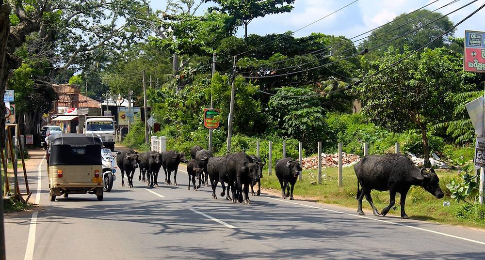 Buffles sur la route de Tangalle