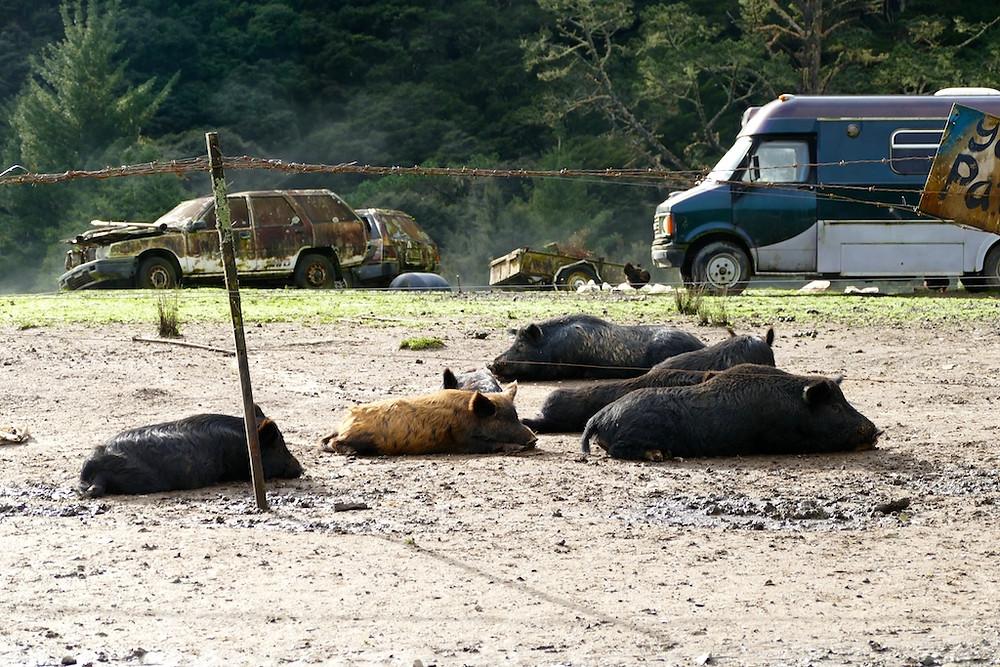 élevage de cochons route 309