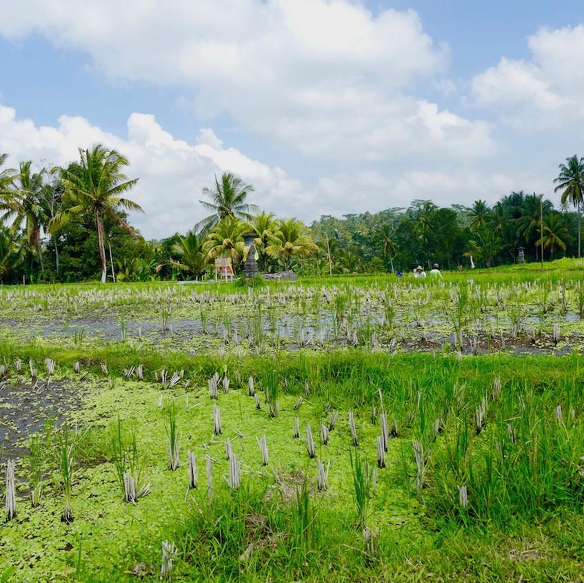 Vélo électrique dans les rizières