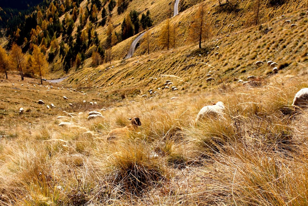 Les moutons du circuit de l'Authion