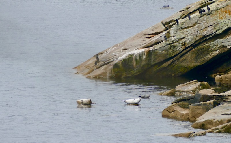 Les phoques au Parc Forillon