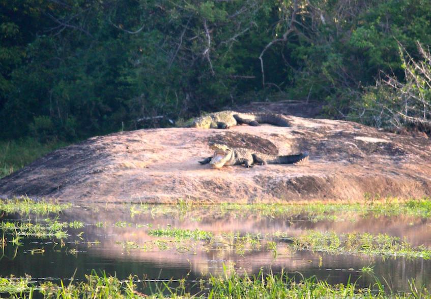 Crocodiles au parc de Yala