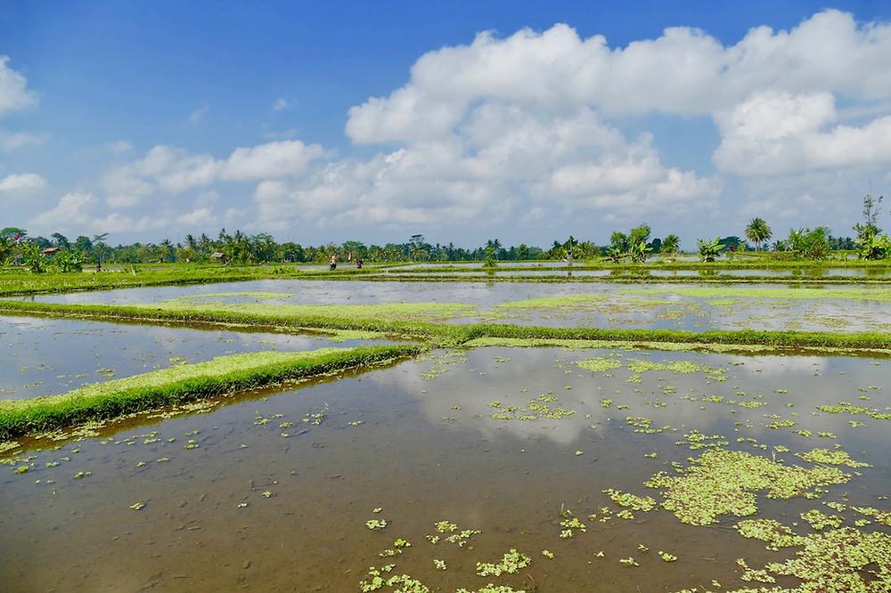 Les rizières d' Ubud vélo électrique