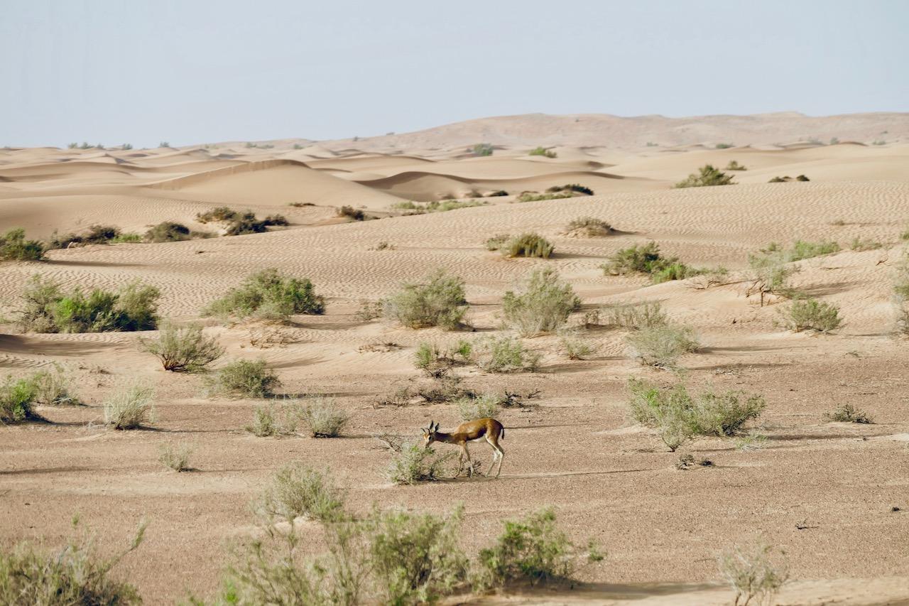 Petite gazelle désert de Dubaï