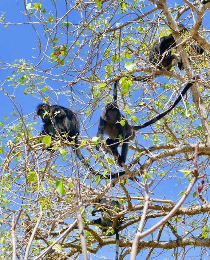 Les singes de la réserve