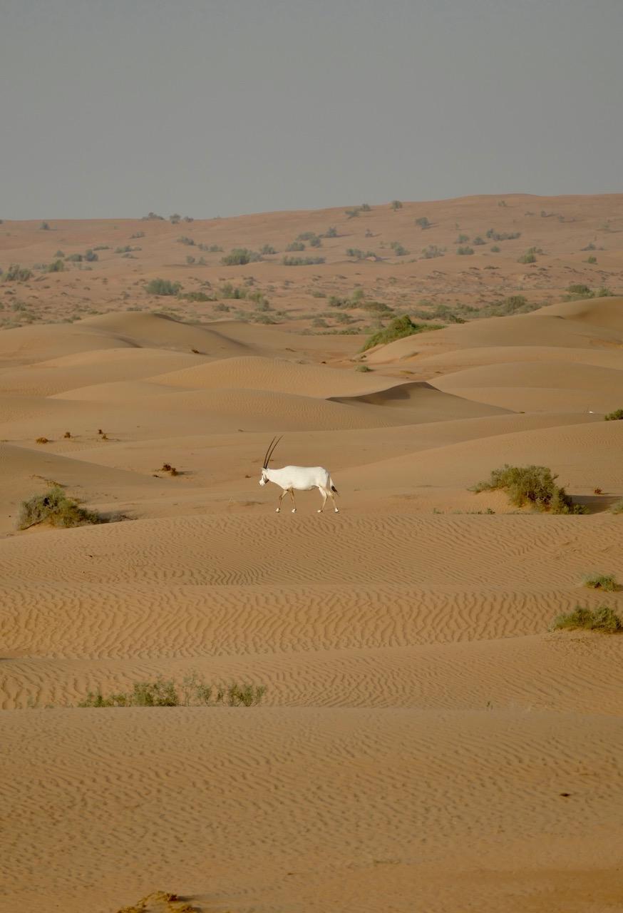 Oryx dans le désert de Dubaï
