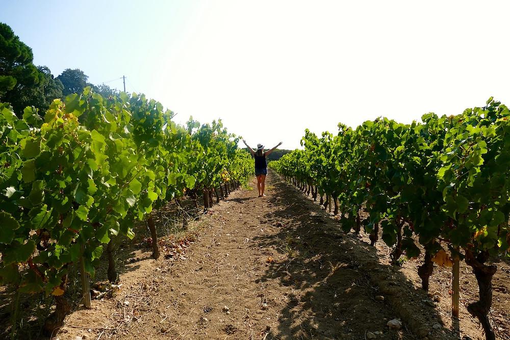 Les vignes de Ramatuelle