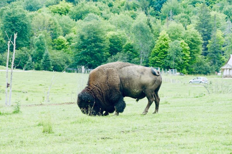 Les bisons du Parc Omega