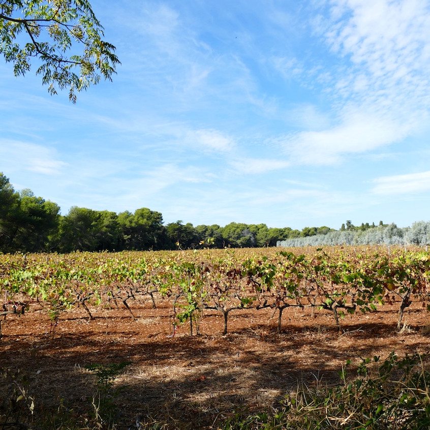 Les vignes de Saint-Honorat