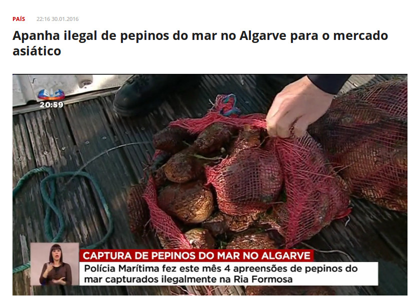 Policia Marítima returning sea cucumbers to Ria Formosa' waters