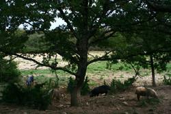 sous les chênes