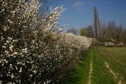 au printemps; les prunelliers