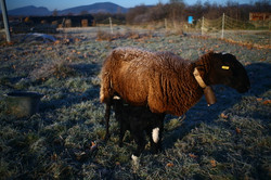 bibinette et son agneau