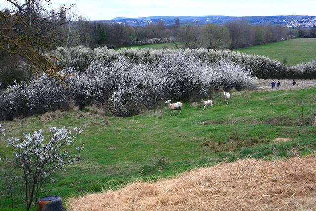les brebis en printemps