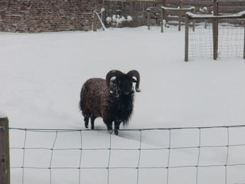 moutons Soay Spring to Life Hélécine