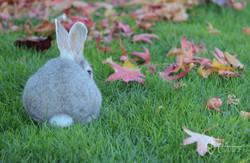Nanaimo Rabbit (1 of 1)