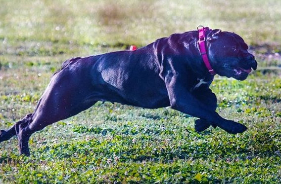 Gin Lure Coursing