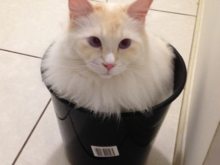 Keeping Your Indoor Cat Amused Top Tips