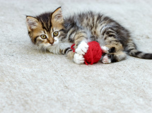 kitten play - playing with wool