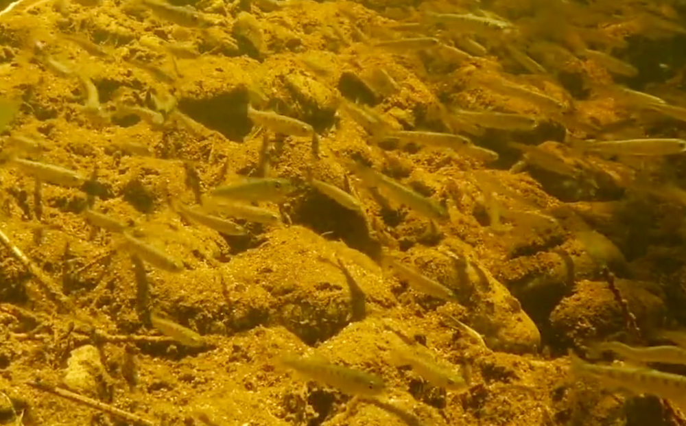 baby salmon at Noons Creek