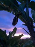 Banana plant Big Island Sunset