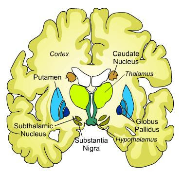 Location of caudate nucleus in the brain